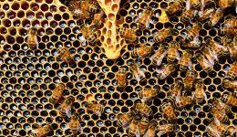 queen cup honeycomb honey bee new queen rearing compartment 56876